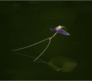mayfly (1)